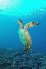 Ascension (BarryFackler) Tags: greenseaturtle turtle honu cheloniamydas marinereptile seaturtle organism vertebrate hawaiiangreenseaturtle cmydas reptile coralreef thanksgiving thanksgivingday2016 thanksgivingday holiday ecology sea ocean nature marinelife scuba sealifecamera aquatic creature marine pacificocean ecosystem reef undersea island honaunau outdoor pacific water animal konadiving coral fauna marinebiology bay zoology sealife hawaiidiving dive konacoast saltwater marineecosystem marineecology biology being bigislanddiving diving westhawaii bigisland kona polynesia tropical hawaii hawaiicounty underwater life honaunaubay 2016 sandwichislands hawaiianislands diver southkona seacreature barryfackler barronfackler explore explored