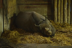 Chester Zoo (349) (rs1979) Tags: chesterzoo zoo chester blackrhino rhino
