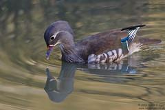 Mandarin Duck, Aix galericulata (Kevin B Agar) Tags: adeldam britishbirds mandarinduck
