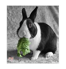 DUTCH RABBIT (paul giles19) Tags: dutch rabbit leaf tripod canon black white colours photography paul giles 1785 hollander brabander