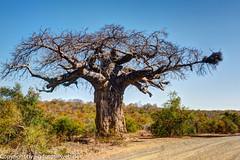Baobab (xrxss15) Tags: adansonia affenbrotbäume africa architecture architektur baobab broadleavedtrees exposurefusionphotomatix grasland grassland krugernationalpark landscape landschaft laubbäume methodnatural mpumalanga natur nature pflanzen plants road southafrica strase tree outofacar