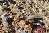 Black-soil Whip-snake (Demansia rimicola) (shaneblackfnq) Tags: blacksoil whipsnake demansia rimicola shaneblack snake elapid venomous reptile barkly tableland nt northern territory australia outback arid crack dwelling