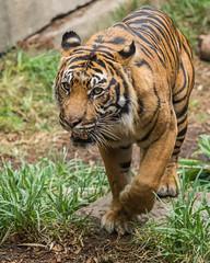 DSC_3826 (craigchaddock) Tags: langka sumatrantiger pantheratigrissumatrae sandiegozoosafaripark