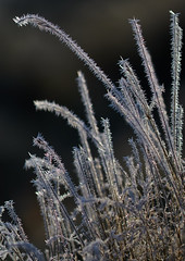 Ice Crystals (paulinuk99999 - tripods are for wimps :)) Tags: paulinuk99999 ice crystals grass nature frost november 2016 london bushy park sal135f18za