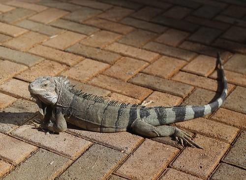 Lizard_6146