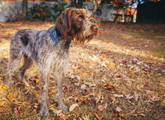Wirehaired Pointing Griffon (Reed Armstrong) Tags: wirehaired pointing griffon dog fall autumn