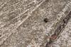 Damhán léime bídeach ~ Tiny jumping spider (caoin) Tags: critters créatúir ainmhithe salticidae coburg victoria australia