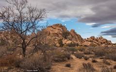 Morning moon over the desert (Photosuze) Tags: landscape desert joshuatree moon rocks california clouds sky trees sagebrush moonrise