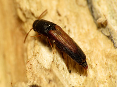 False Click Beetle (treegrow) Tags: washingtondc rockcreekpark lifeonearth nature canonpowershotsx40hs raynoxdcr250 arthropoda insect beetles coleoptera beetle eucnemidae