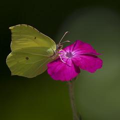 Cocktail détonnant ** (Titole) Tags: citron papillon butterfly coquelourde titole nicolefaton squareformat lychniscoronaria yellow pink shallowdof friendlychallenges unanimouswinner thechallengefactory