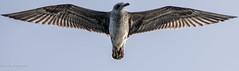 La pose d'un albatros. (Bouhsina Photography) Tags: bird oiseau albatros marinasmir tétouan tetuan maroc morocco bouhsina bouhsinaphotography canon 7dii ef70200 été 2016
