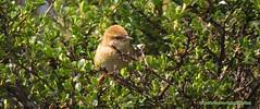 Endemic, Apolinar's Marsh Wren,Cistothorus apolinari, Apolinar's Wren, National Park Sumapaz,  Birding tour eastern andes with Bogota Birding (OSWALDO CORTES -Bogota Birding and Birdwatching Co) Tags: endemic nationalparksumapaz apolinarswren cistothorusapolinari apolinarsmarshwren biridngtoureasternandeswithbogotabirding