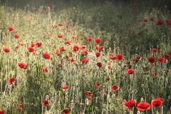 Poppies in backlight (mennomenno.) Tags: sunlight backlight rotterdam poppies tegenlicht zonlicht klaprozen braakliggendveldje