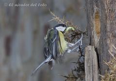 Carbonero Comn (El mirador del lobo) Tags: codesal carbonerocomn sierradelaculebra elmiradordellobo