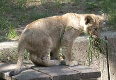 National Zoo Tue 13 May 2014 (459) African Lion (smata2) Tags: washingtondc smithsonian dc leo lion katze bigcats lowe pantheraleo nationscapital smithsoniannationalzoo greatcats itsazoooutthere zoosofnorthamerica flickrbigcats