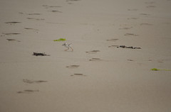 Piping Plover Chick (SarahRydgren) Tags: trees summer green bird love beach fog nikon farm smoke country foggy newengland ipswich thetrusteesofreservations pipingploverchick