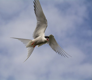 Arctic Tern inflight ~ Explored