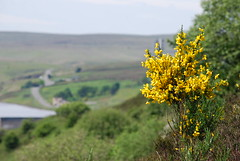 Growing on the side of the motorway (Halliwell_Michael ## Thanks for 2.5m visits ##) Tags: flowers perspective hills moors wildflowers westyorkshire pennines scammonden m62 2014 motorways penninehills nikond40x