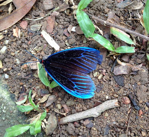 Blue-black Butterfly