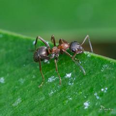 FOURMI Camponotus lateralis03 (daumy) Tags: france nature campagne pattes feuille noire fourmi mditerranne bestioles lecannet mediterranne provencealpesctedazur daumy