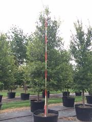 Cedar Elm 100g 7-10-14