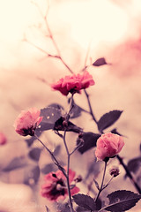 Stillness (AlyKPhoto) Tags: pink wild flower nature beautiful rose outside soft pretty blossom ghost bloom bud exposed