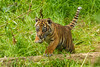 """Sumatran Tiger Cub - Flamingo Land June 2014"" by patrick-walker"