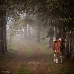 Na Roça... (Waldyr Neto) Tags: countryside caminho vaca roça boi névoa porteira trêspicos parqueestadualdostrêspicos petp