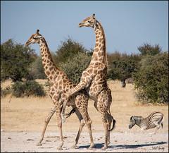 Mating-giraffe_DSC8642 (Mel Gray) Tags: africa wildlife giraffe namibia etosha africanwildlife