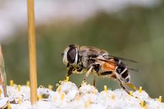 DSC02786-3 (slo.Metallc) Tags: macro closeup fly sony flies tamron 90mm tamronspaf90mmf28di a77ii ilca77m2