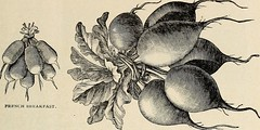 Anglų lietuvių žodynas. Žodis chinese rhubarb reiškia kinijos rabarbarai lietuviškai.