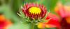 Gallardia - Cinematic View (David S Wilson) Tags: uk flowers england flower ely fens 2014 flowersplants sonynex davidswilson lightroom5 sonysel30mmf35macrolens
