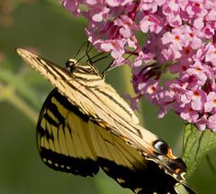 9142HOMEa (preacher43) Tags: macro butterfly illinois bush tiger eastern swallowtail geneseo henrycounty