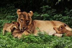 Lioness & Cubs, Chobe National Park, Botswana (klopek1) Tags: africa family wildlife lion safari cubs botswana endangered chobe lioness