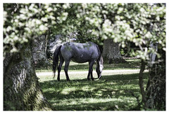 Dining al Fresco (Billy-Fish) Tags: new uk trees light shadow summer england horses horse tree nature leaves forest hampshire pony ponies grazing equine graze billyfish