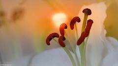 "Sunset Kisses ""A tranquil mind is paradise found"" anon Proud member of http://ift.tt/VZoiJs BTP Daily Highlight BTP Editor's Choice (Best Top Photographer's page) #BTPFlowerPro BTP Flower Pro Rinus Bakker #BTPMacroPro BTP Macro Pro Rinus Bakker #bellespho (WhyCallSarah) Tags:"