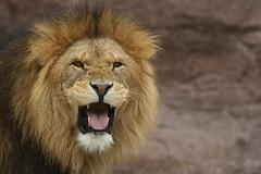 Roar (Jchales.co.uk) Tags: jason nature animal animals tongue canon lens prime zoo flickr colours lion kingdom anger angry roar loud essex catchy colchester zoos chelmsford 2014 200mm hales jchalescouk jchales