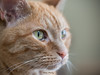 Miss Molly (July 2014) II (gtncats) Tags: pet cat feline missmolly gingertabby platinumheartaward felineportrait felinefaces photographyforrecreation infinitexposure