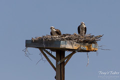 Osprey pair on a nest