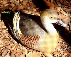 Duck (pat.bluey) Tags: duck ngc 1001nights wollongong helensburgh southcoastnsw coth supershot specanimal flickraward symbiowildlifepark alittlebeauty flickrunitedaward coth5 1001nightsmagiccity