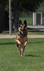 Mia (Laura Berdasco) Tags: dogs mia perros germanshepherd pastoraleman