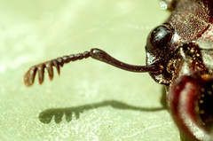 Face. (severalsnakes) Tags: bug insect pentax beetle ring reverse reversing reversal k30