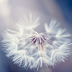 Soft Dandelion (AlyKPhoto) Tags: old blue white macro nature closeup canon outside outdoors eos weeds weed soft child seed 100mm pale dandelion nostalgic wish f28 wishing 6d