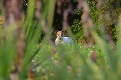 Jack Russel (schessi282) Tags: dog ball wiese hund grn versteckt