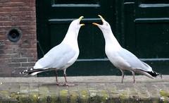 schiedam,boat trip (98) (bertknot) Tags: seagulls schiedam zeemeeuwen schiedamboattrip schiedamrondvaart rondvaartschiedam