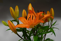 Exotically Orange (PhotosbyDi) Tags: stilllife orange flower flora lilies bloom orientallilies niftyfifty nikond600 nikonf1850mmlens