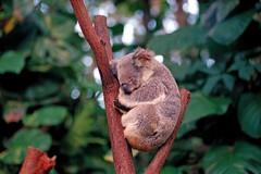 Sleeping koala (ib.aarmo) Tags: bear australia koala marsupial cinereus phascolarctos