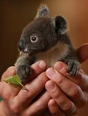 Archer the koala / P (preciouskidsgreatparents) Tags: kids parents paradise outdoor furniture great precious koala p archer wicker
