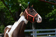 Red harness (Krasivaya Liza) Tags: horses animals rural countryside cows farm connecticut country ct farms stables horsesandcows