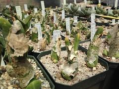 Mitrophyllum grande - Brakfontein